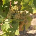 Vinhos do Tejo tem o 'Melhor Branco Especial'